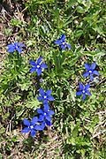 Alpine Gentian wildflowers, Gentiana verna, in meadow below Jungfrau in Swiss Alps, Bernese Oberland, Switzerland