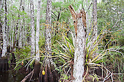 A rare orchid grows in a grove of bald cypress (Taxodium distichum) trees in a swamp in Everglades National Park, Florida.