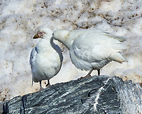 Snowy Sheathbill (Chionis albus). Point Wild, Elephant Island. Image taken with a Leica T camera and 18-56 mm lens.