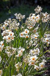 Narcissus 'Cragford' AGM