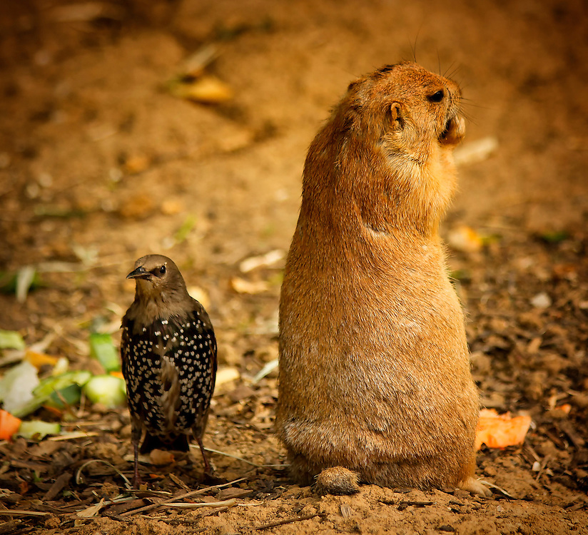 The starling is stalking the prairie dog while planning it's course of action.