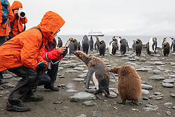 Photographing King Penguin Chicks