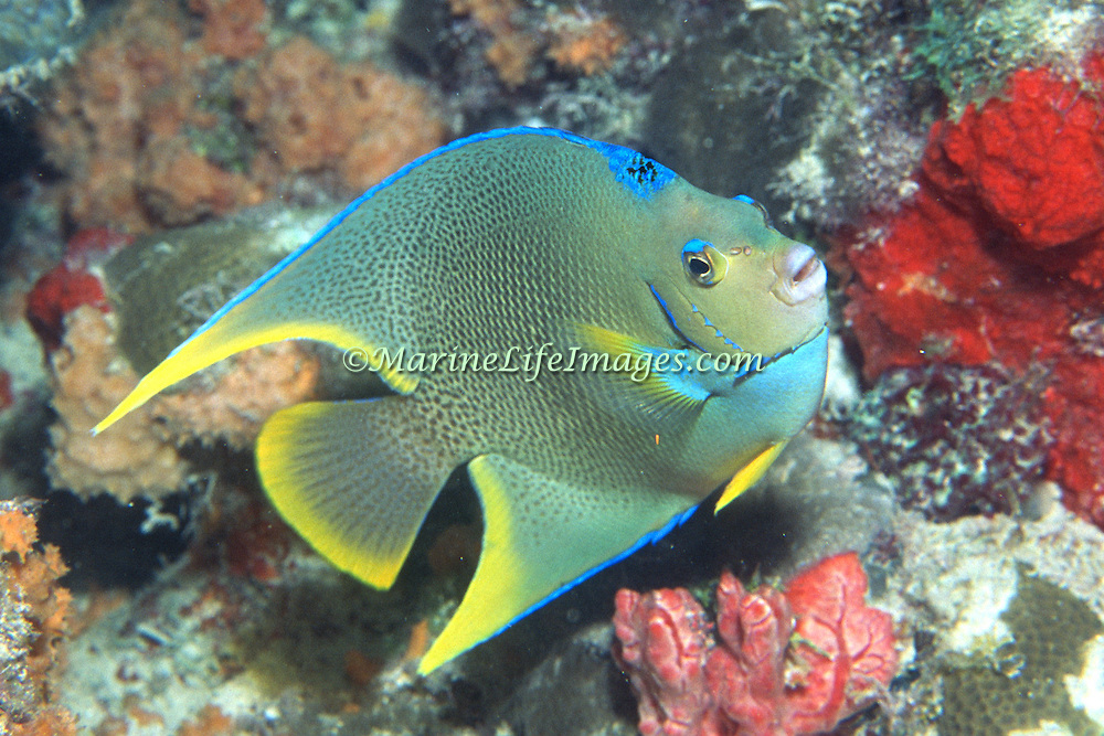 Townsend Angelfish, hybrid of Queen and Blue Angelfish, inhabit reefs and surrounding areas in Florida, Bahamas and Bermuda; picture taken Dry Tortugas, FL.