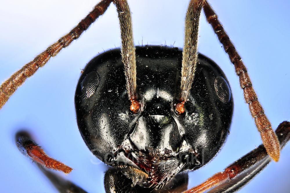 [Digital focus stacking] Jet Ant, Shining Jet Black Ant (Lasius fuliginosus), worker | Glaenzendschwarze Holzameise, Schwarze Holzameise, Kartonnestameise (Lasius fuliginosus)