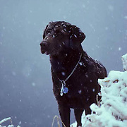 Chocolate Lab, sitting on edge of frozen pond with light snow.