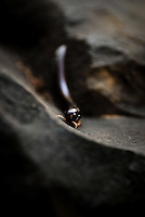 An African Giant Millipede crawls over rocks at the bottom of Victoria Falls, Zambia