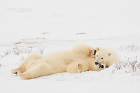 Polar Bears in the Canadian Arctic