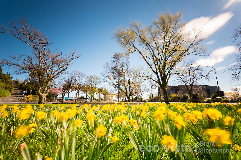 Daffodils (Narcissus sp.) in full flower during a sunny spring day in Nelson, with blue sky and deciduous trees coming in to bud in the background. Motion blur during a long exposure photo. Nelson, South Island, New Zealand. September.