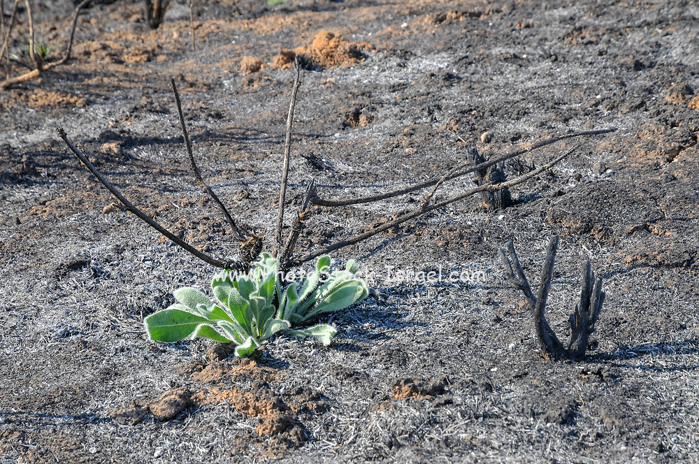 Forest is regrowing after the fire devastation. Photographed in Israel Near the Gaza border