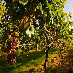 The vineyard at Jewell Towne Vineyards in South Hampton, New Hampshire.