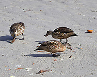 Crested Duck (Lophonetta specularioides). Image taken with a Leica T camera and 18-56 mm lens.