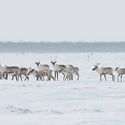 Barren Ground Caribou in Wapusk National Park, Manitoba, Canada.