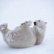 Polar Bear, (Ursus maritimus) Sub adult rolling in snow, playing with feet. Churchill, Manitoba. Canada.