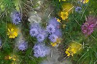 Globularia cordifolia; Globe Daisy; Hippocrepis comosa, Horseshoe Vetch; Double exposure, Augstenberg, Liechtenstein