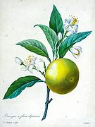 19th-century hand painted Engraving illustration of an Orange, sweet orange. (Citrus sinensis) with blossoms by Pierre-Joseph Redoute. Published in Choix Des Plus Belles Fleurs, Paris (1827). by Redouté, Pierre Joseph, 1759-1840.; Chapuis, Jean Baptiste.; Ernest Panckoucke.; Langois, Dr.; Bessin, R.; Victor, fl. ca. 1820-1850.