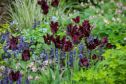 Tulipa 'Black Parrot' with Dicentra 'Stuart Boothman' and Ajuga reptans 'Catlin's Giant' in the borders at Pettifers