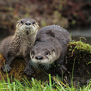 River Otter young on a mossy log during spring. Montana, Captive Animal