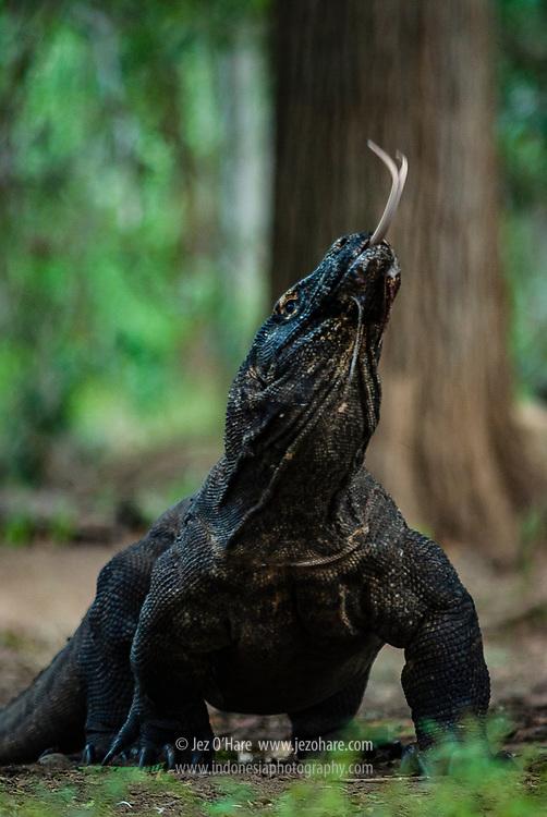 Komodo Dragon, Komodo National Park, Flores, Nusa Tenggara Timur, Indonesia.