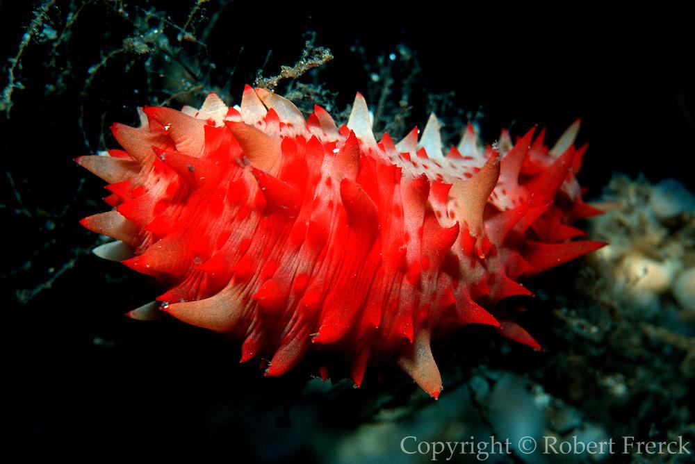 UNDERWATER MARINE LIFE EAST PACIFIC, generic Sea Cucumber; Stichopus californicus