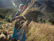 Going picking wheat with Angoma. In Roshorv village.