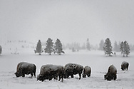 Bison feed on grasses beneath the snow during a winter storm in Yellowstone