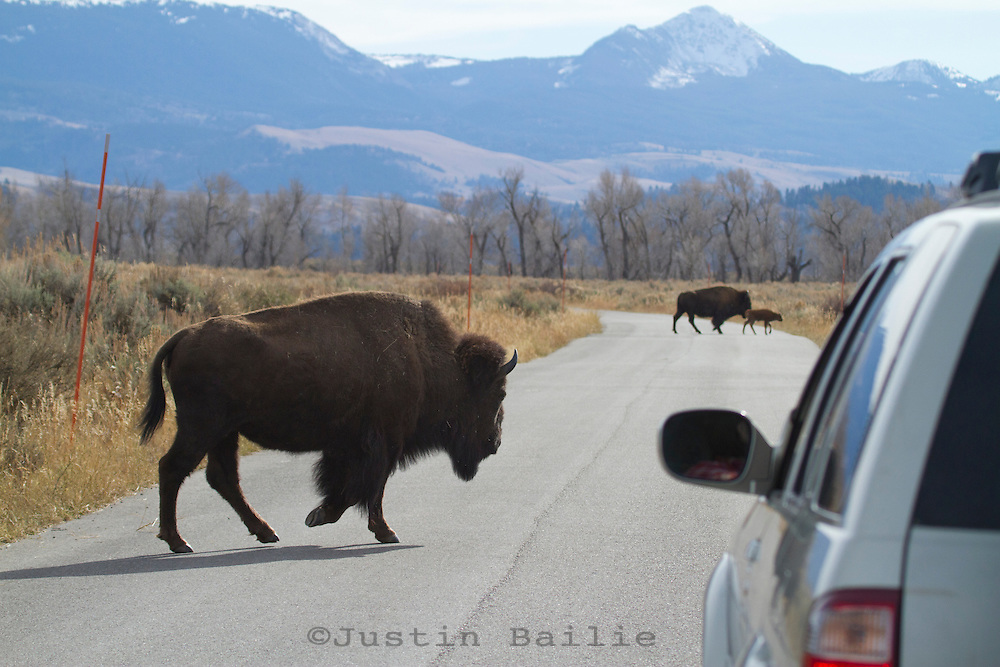 Bison crossing road in Grand Teton NP, WY.