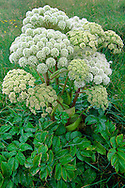 WILD ANGELICA Angelica sylvestris (Apiaceae) Height to 2m<br /> Robust and almost hairless perennial with hollow, purplish stems. Found in damp meadows and woodlands. FLOWERS are white (sometimes tinged pink) and borne in robust, domed umbels up to 15cm across (Jun-Jul). FRUITS are oval, flattened and 4-winged. LEAVES are 2- 3-pinnate; lower leaves up to 60cm long, upper leaves are smaller than and their bases form inflated sheaths. STATUS-Widespread and common throughout.
