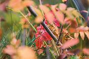 Rowan (Sorbus aucuparia) leaf in autumn colors, Zemgale, Latvia Ⓒ Davis Ulands | davisulands.com