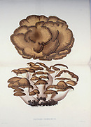 Grifola frondosa [Polyporus frondosu] is a polypore mushroom that grows at the base of trees, particularly oaks. from the book Sveriges ätliga och giftiga svampar tecknade efter naturen under ledning [Sweden's edible and poisonous mushrooms drawn after nature under guidance] By Fries, Elias, 1794-1878; Kungl. Svenska vetenskapsakademien Published in Stockholm, Sweden in 1861