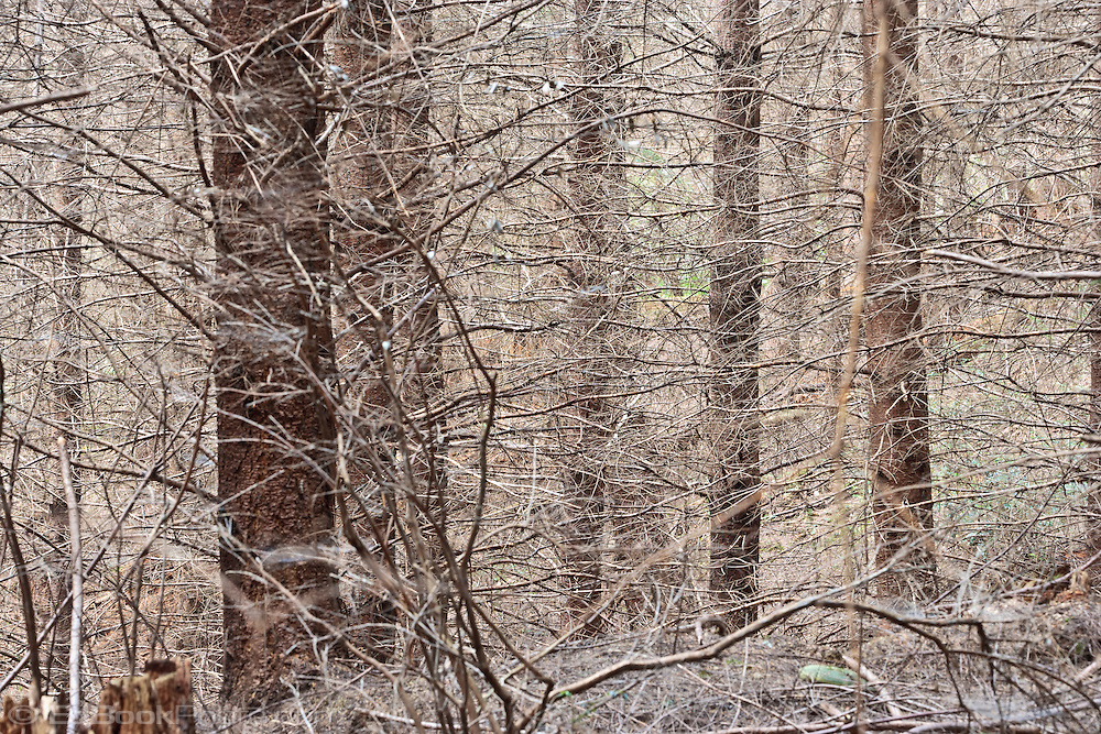 a tangle of branches in a Kitsap Peninsula forest in Puget Sound Washington state, USA