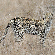 African Leopard in South Africa