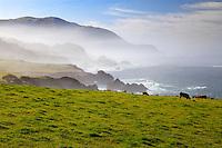 Cows graze a field along the Big Sur Coast, California.