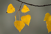 """""""Birch Leaves"""".Yellow leaves of a gray birch (Betula populifolia).  Fall views at Walden Pond."""
