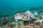 pharaoh cuttlefish, Sepia pharaonis, male (center, with striped color pattern indicating dominance) courting a female (left); smaller male (rear right) is trying to join the action, Gato Island, off Malapascua, Cebu, Philippines  ( Visayan Sea, Western Pacific Ocean )