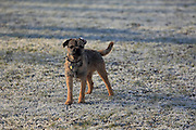 This Mojo, a young male Border Terrier, posing for me in the frost.