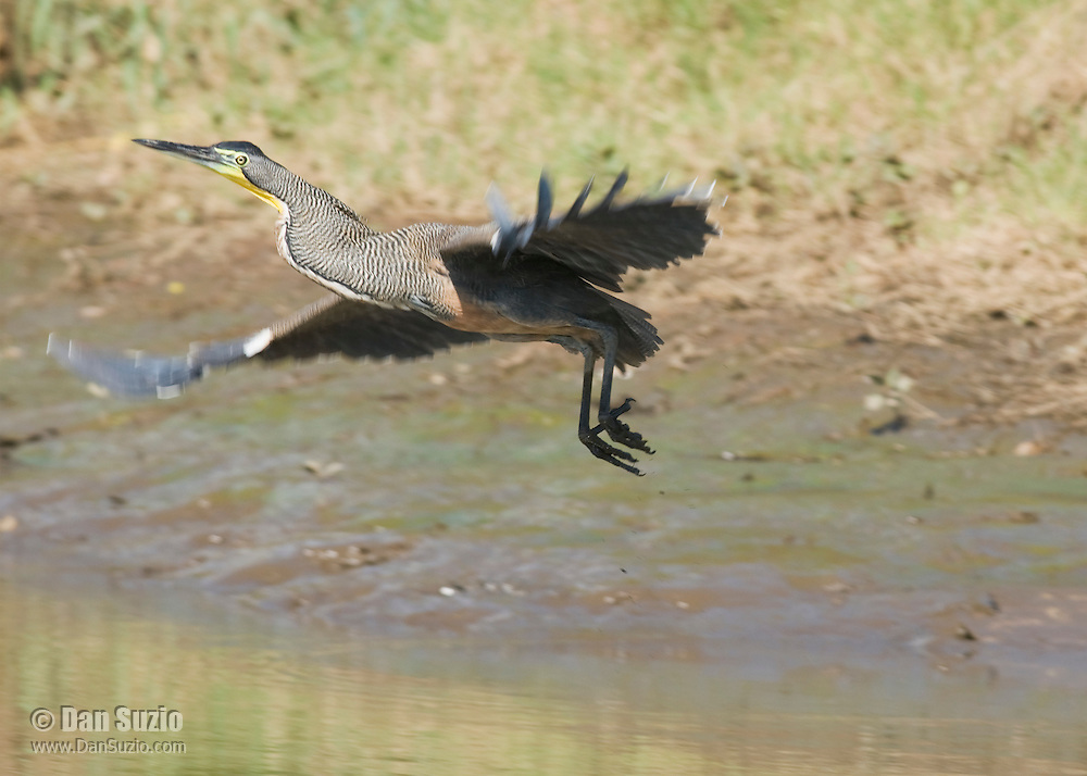 Bare-throated tiger heron, Tigrisoma mexicanum, at the shore of the Tarcoles River, Costa Rica