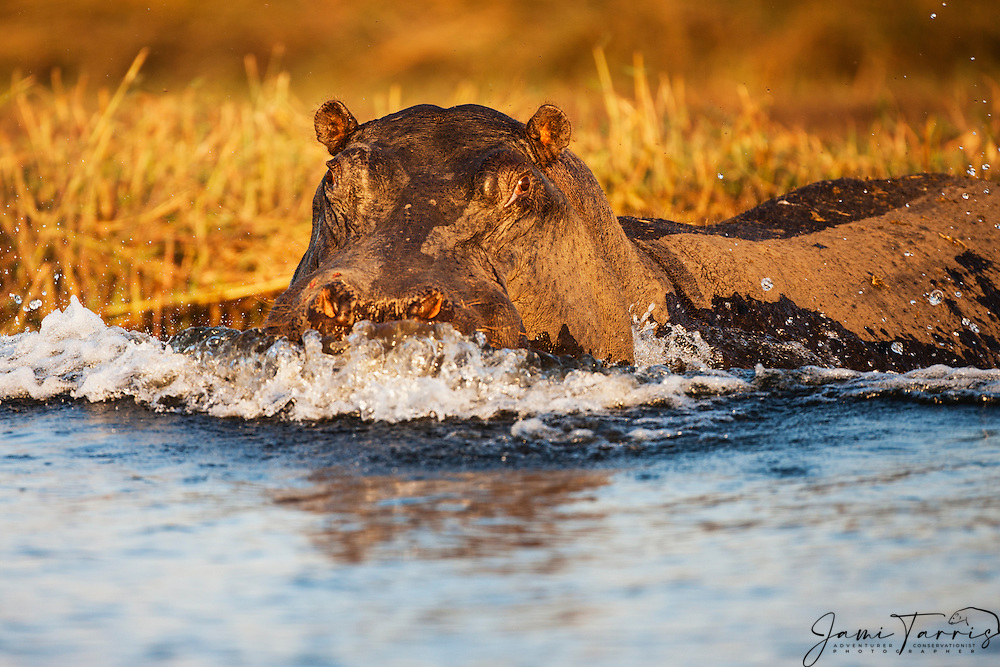 A hippopotamus (Hippopotamus amphibious) aggressively pushes through the water in a threat display when approached too closely in the water, Chobe National Park, Botswana