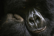 A close-up of the face of a silver backed mountain gorilla (Gorilla beringei beringei) resting on its hand , Park de Volcanoes ,Rwanda