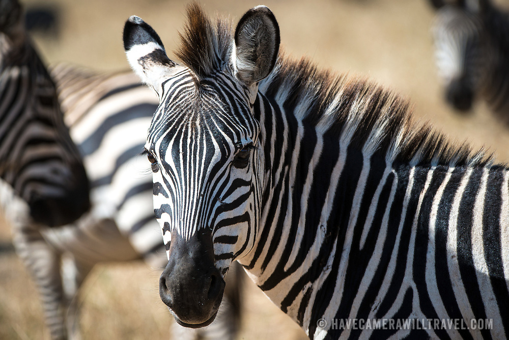 A zebra stands watchfully at Tarangire National Park in northern Tanzania not far from Ngorongoro Crater and the Serengeti.