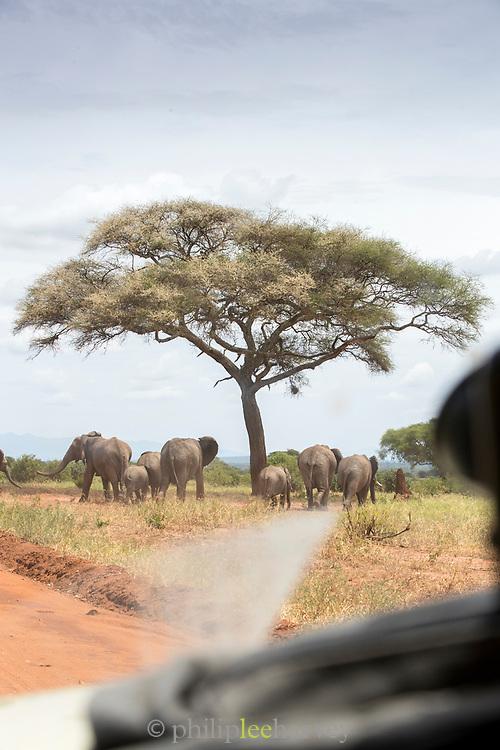 Herd of African elephants (Loxodonta africana) in savannah seen from a safari car in Tarangire National Park, Tanzania