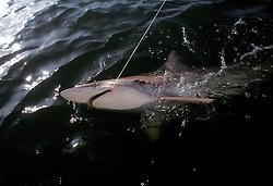 Black-tip shark.