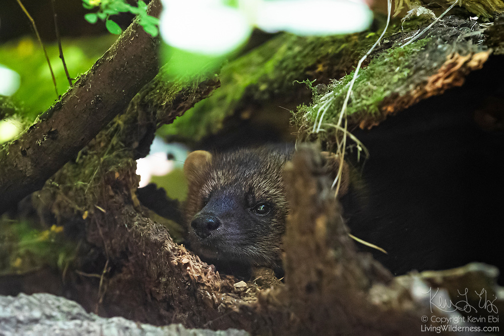 A fisher (Pekania pennanti) looks out from a hollow log in an exhibit at Northwest Trek Wildlife Park near Eatonville, Washington. Fishers are found in forests throughout northern North America. They are omivours, feeding on a wide variety of small animals and occasionally on fruits and mushrooms. Despite their name, however, they rarely eat fish.