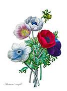 19th-century hand painted Engraving illustration of a bouquet of Anemone coronaria [here as Anemone simplex] flower, by Pierre-Joseph Redoute. Published in Choix Des Plus Belles Fleurs, Paris (1827). by Redouté, Pierre Joseph, 1759-1840.; Chapuis, Jean Baptiste.; Ernest Panckoucke.; Langois, Dr.; Bessin, R.; Victor, fl. ca. 1820-1850.