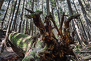 Large fallen tree raises its root ball along Mount Si Trail, North Bend, Washington, USA