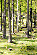 Woodland landscape tree trunks on the banks of Lake Buttermere, Cumbria, England, UK