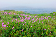 Fireweed (Epilobium sp.)  in fog and Bay of Fundy<br />