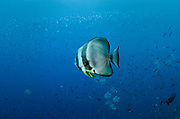 Longfin Spadefish (Platax teira)<br /> Raja Ampat<br /> West Papua<br /> Indonesia