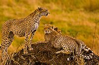 Cheetahs on mound, Masai Mara National Reserve, Kenya