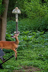 The white-tailed doe trying to decide the best way to eat the bird seed.