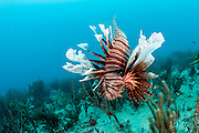 A Volitans Lionfish, Pterois volitans, an invasive speceies, prowls a coral reef offshore Jupiter, Florida, United States, looking for juvenile fish to eat.